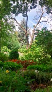 Abtragung einer stark geschädigten Gurkenmagnolie im Botanischen Garten Halle
